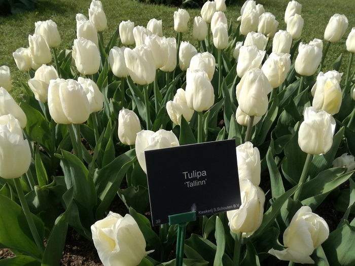 Op de foto: Tallinn-tulpen in Keukenhof in het voorjaar van 2018. Foto: privé-archieven van Kaili Terras